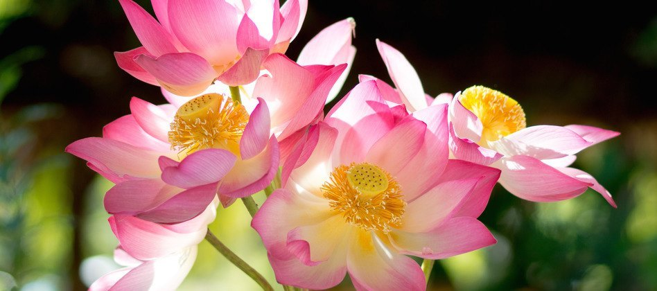Blooming lotus flower in the morning.
